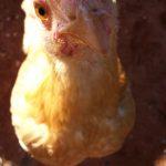 A Buff Orpington hen at copperandglass Homestead.